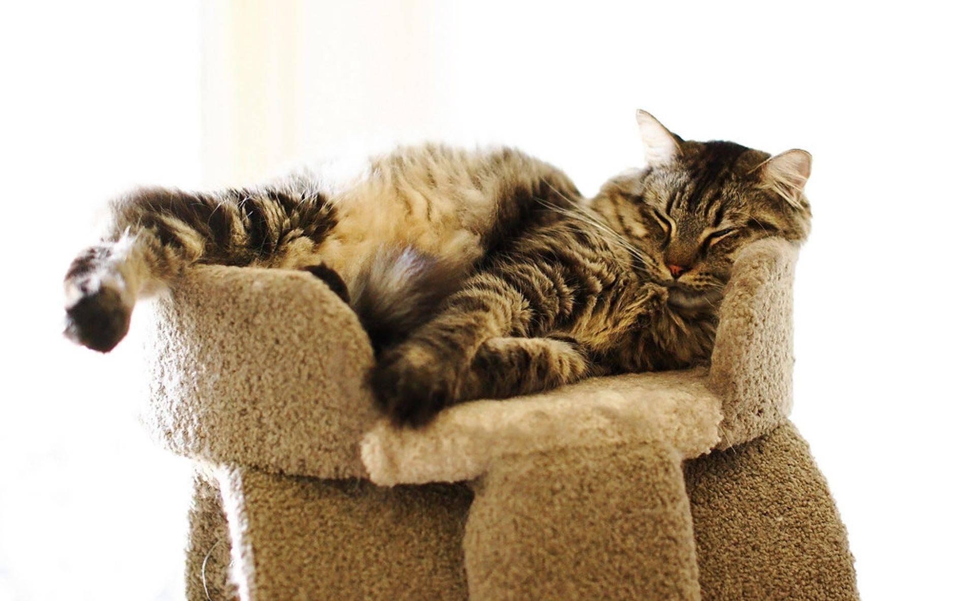 Lazy Cat Adoption Colorado