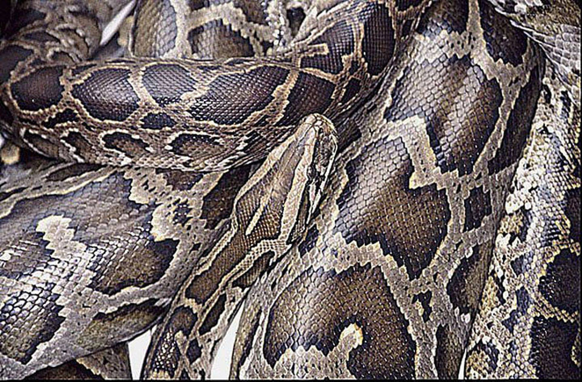 Beautiful and cunning, the python can become a loyal family member.