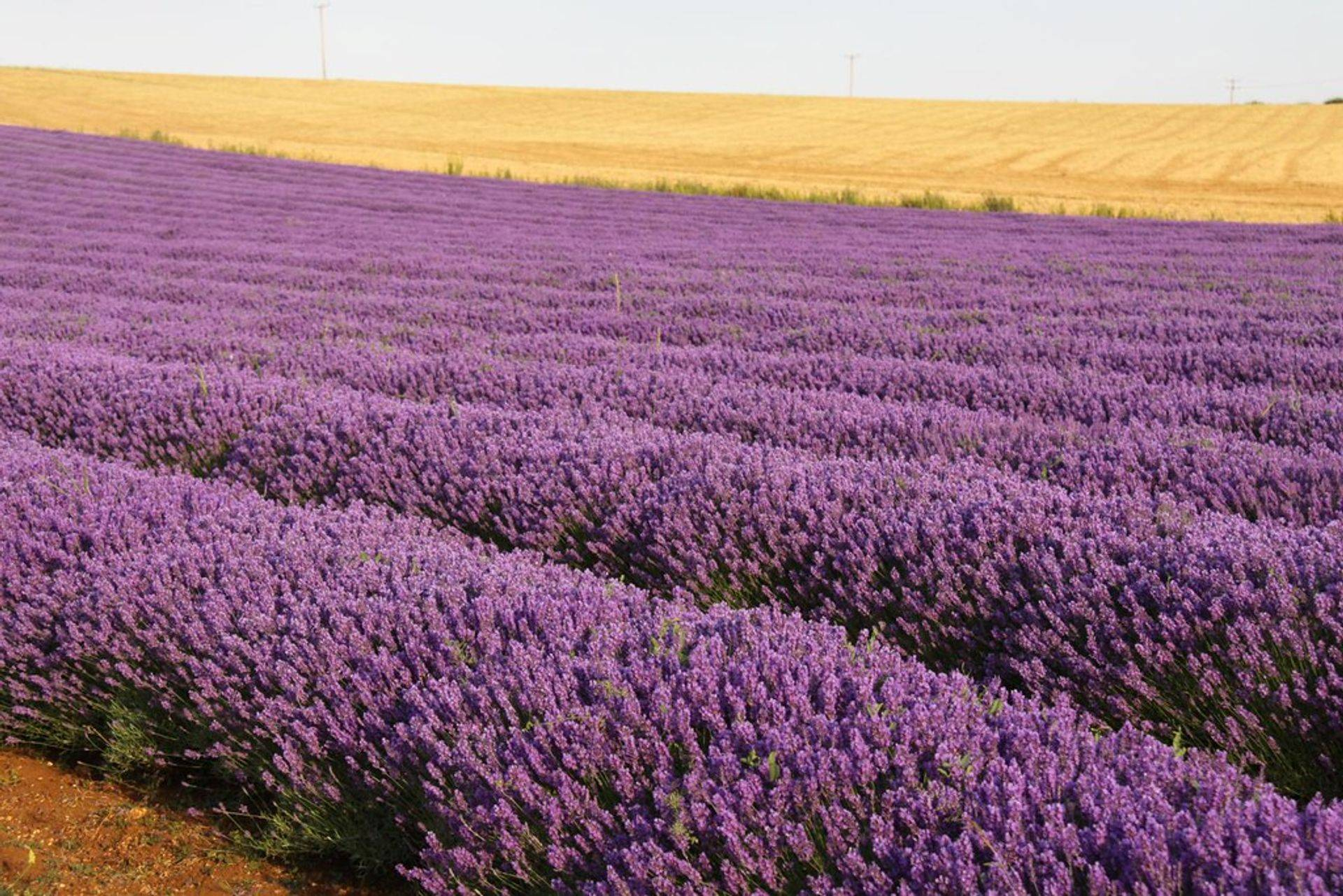 Lavender Fields full of flowers