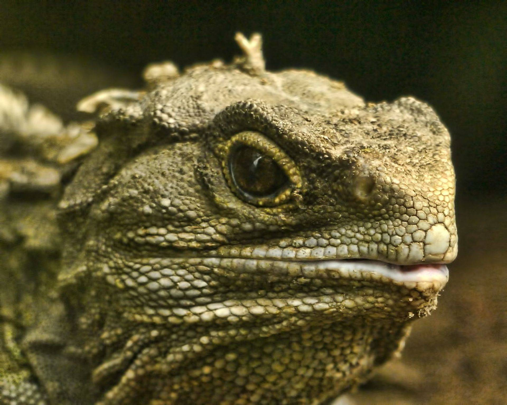 Bearded Dragons are one of our most requested pets!