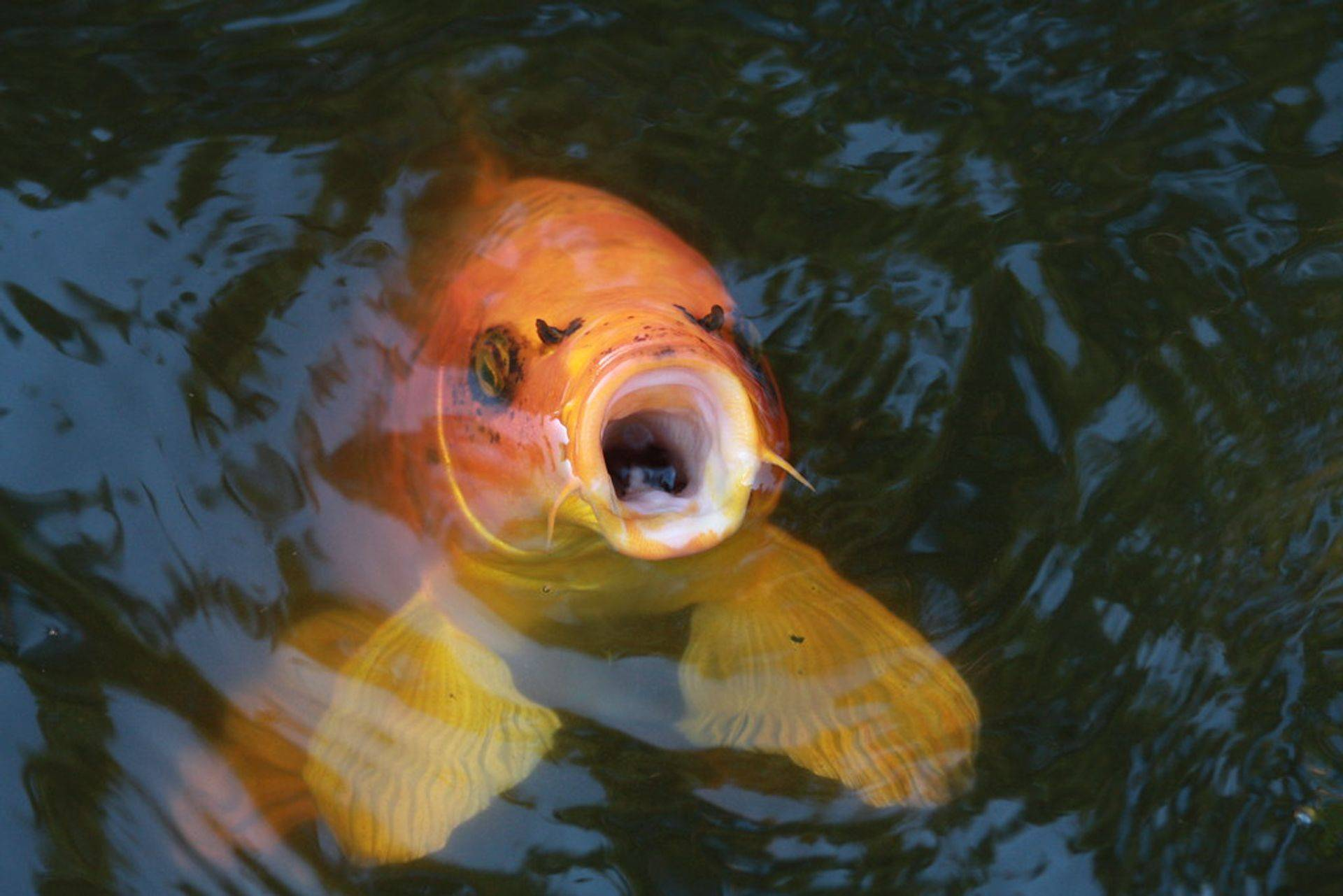 Koi Pond buffalo