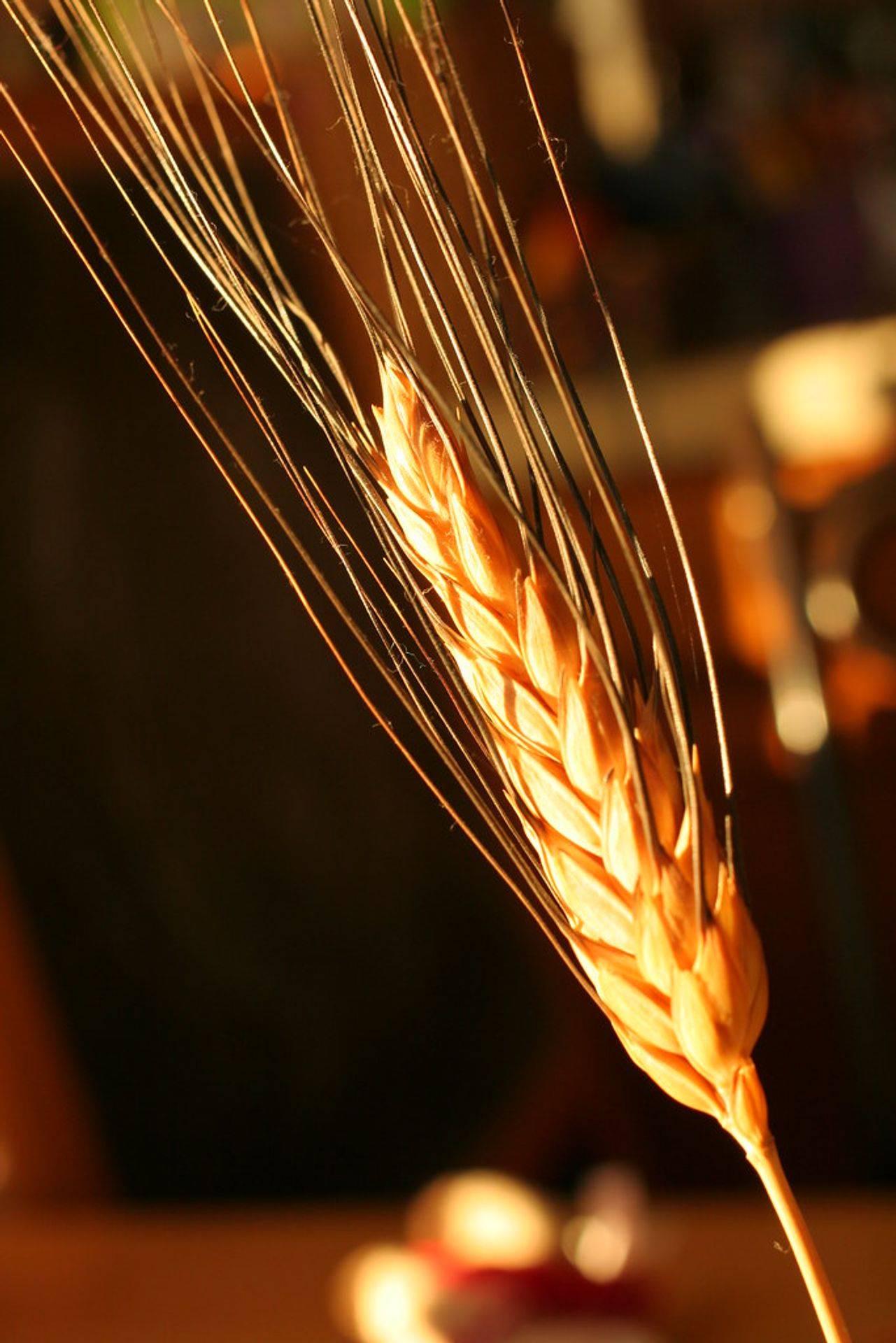 Wheat Sheaf plant