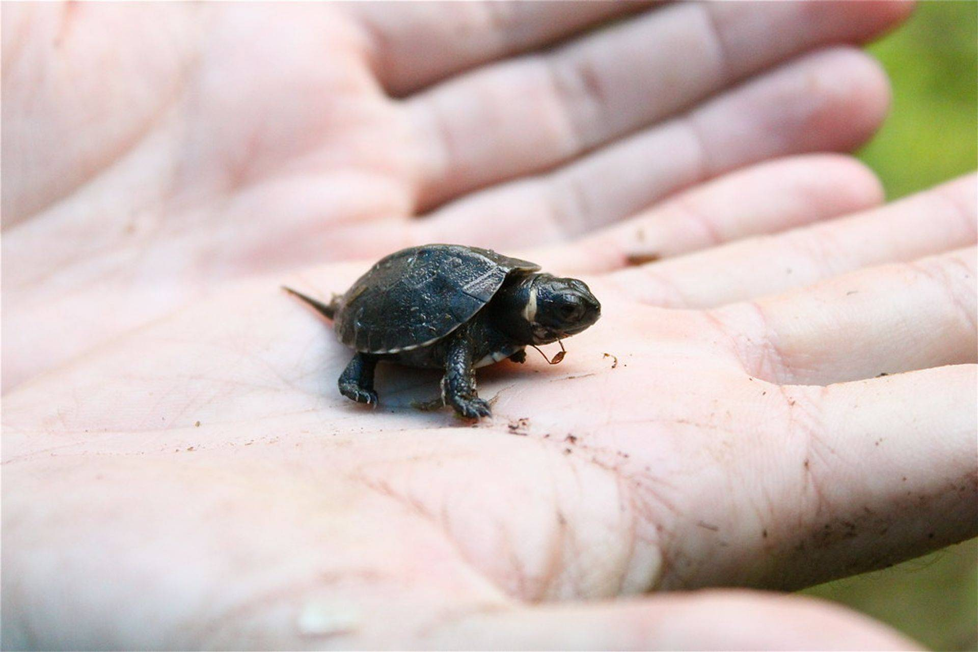 Baby Turtles are a child favorite and educational for the whole family!