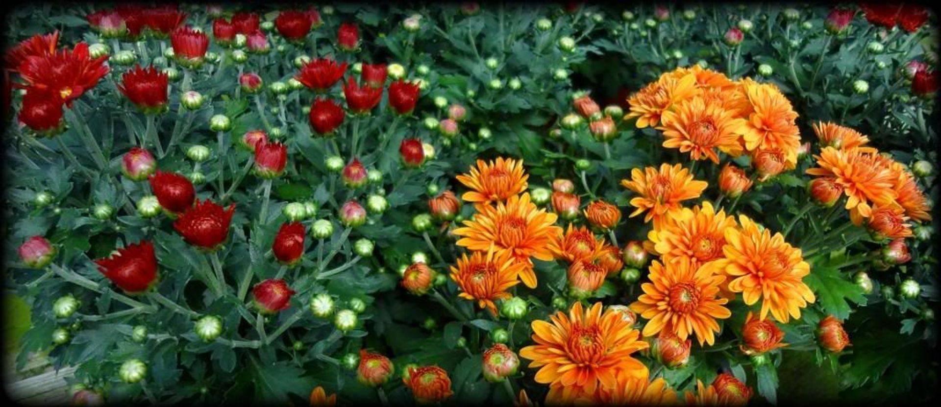 """6"""" Florist Mums"""
