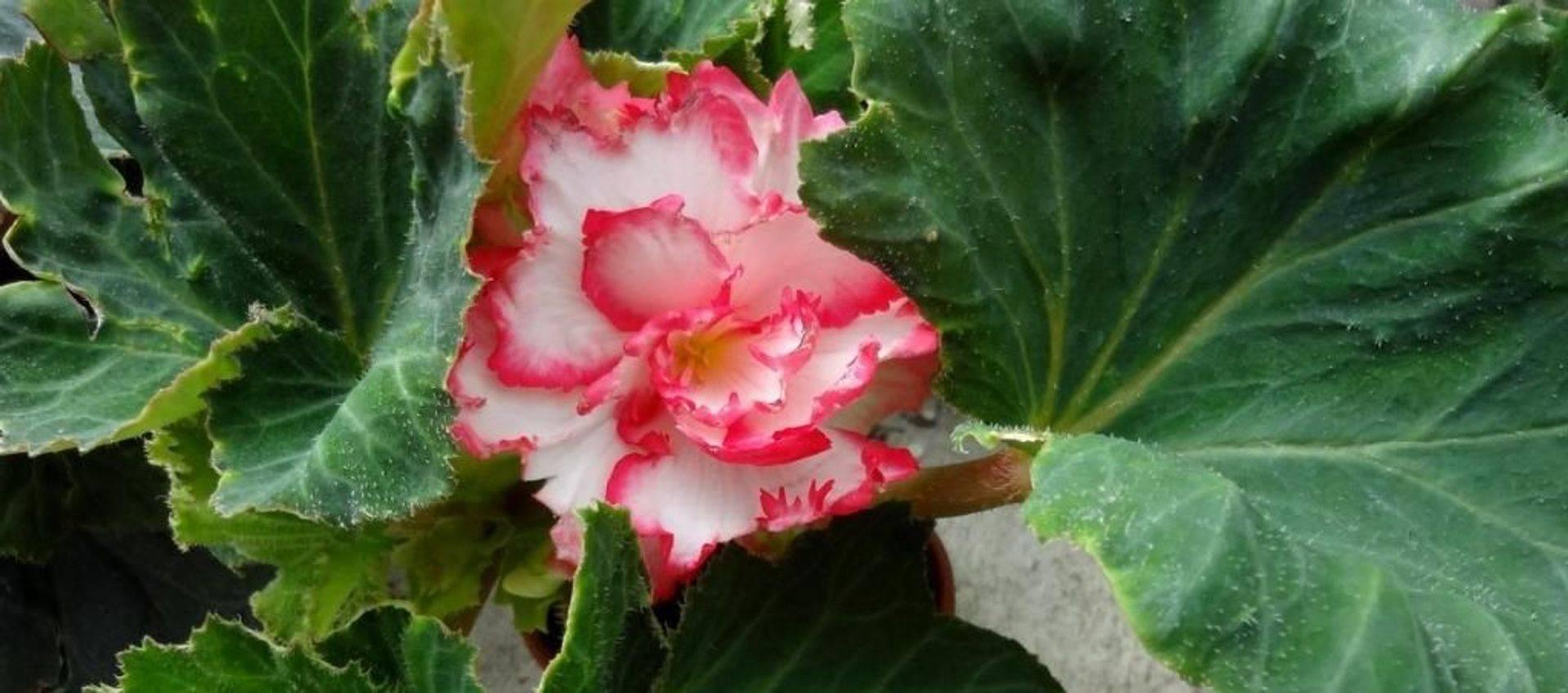 Pink and white Begonia
