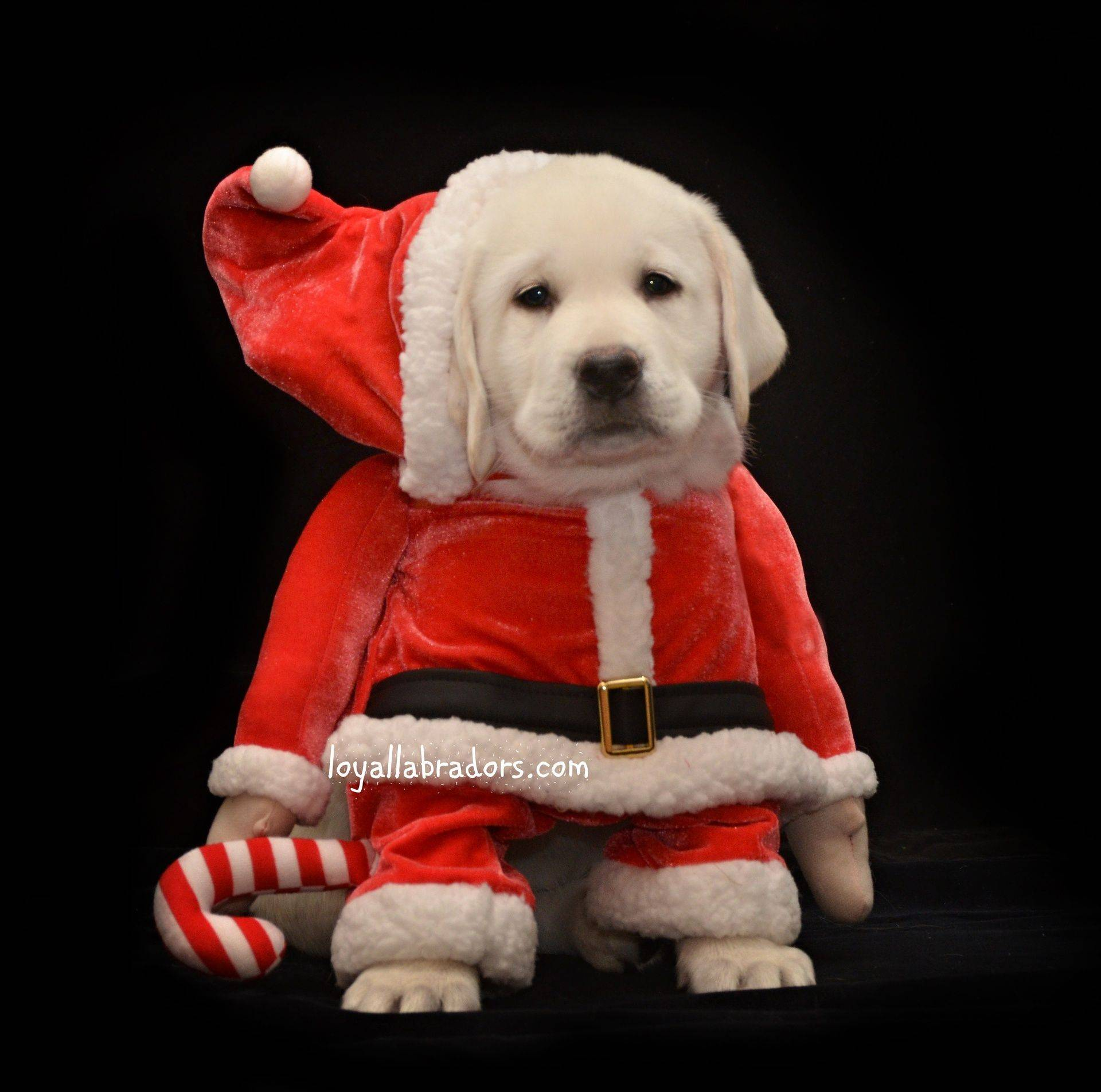 Cute white lab puppy in a santa suit