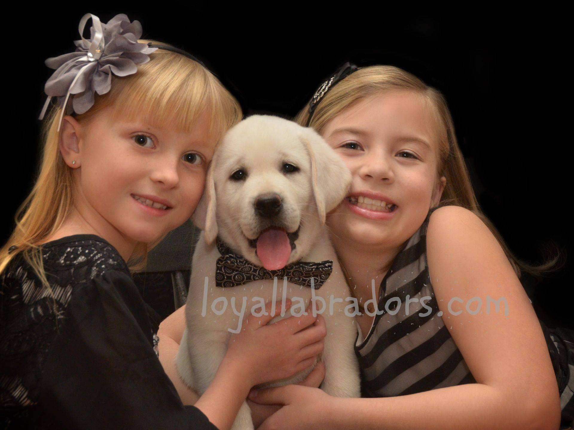 lab puppies for sale in CA, MN, IA, SD, ND, IA, Canada, hollywood, CO, WI, IL, MI, VA