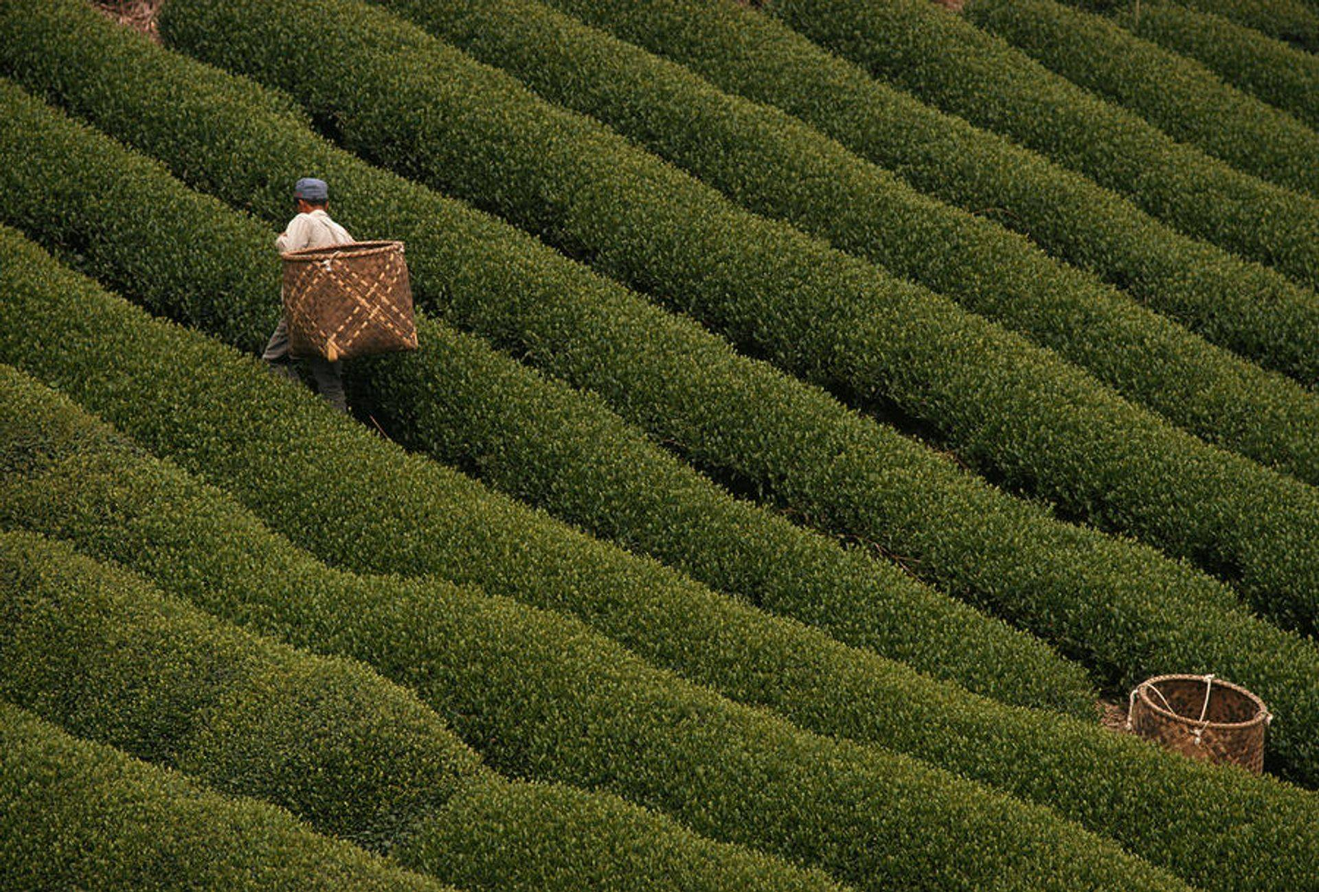 tea plantation, workers