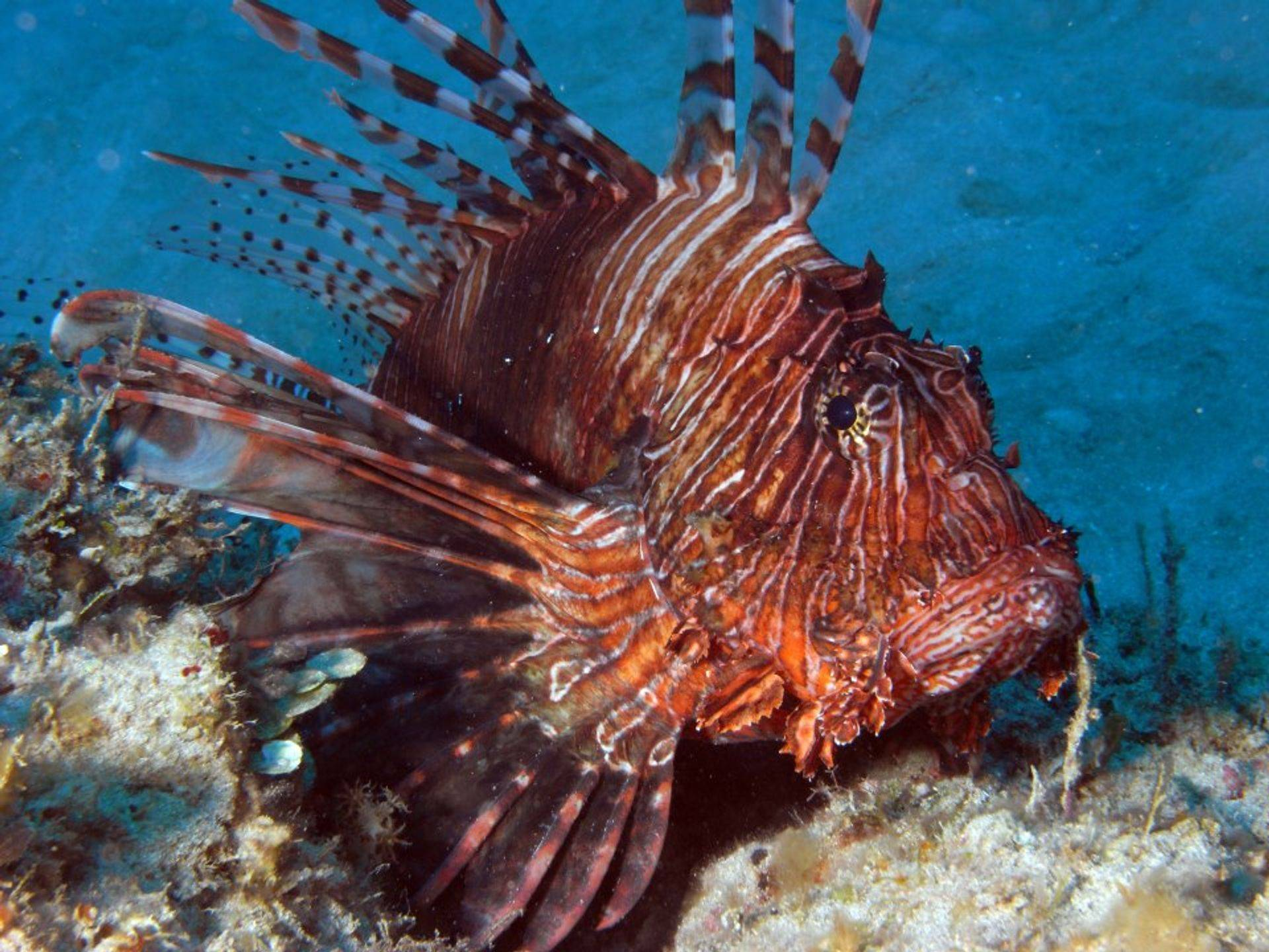 Lionfish while diving in the Dominican Republic