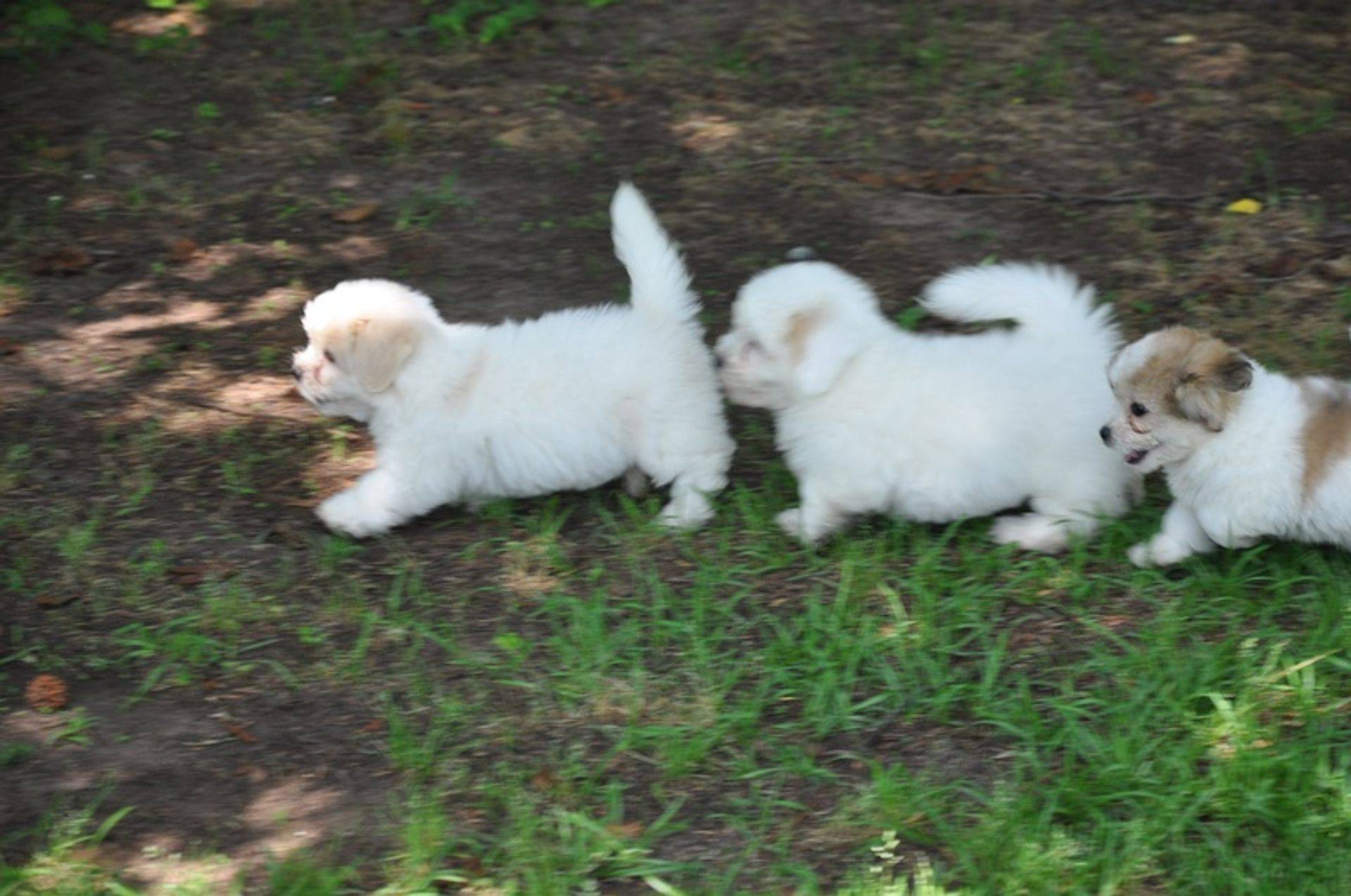 Coton de tulear puppies