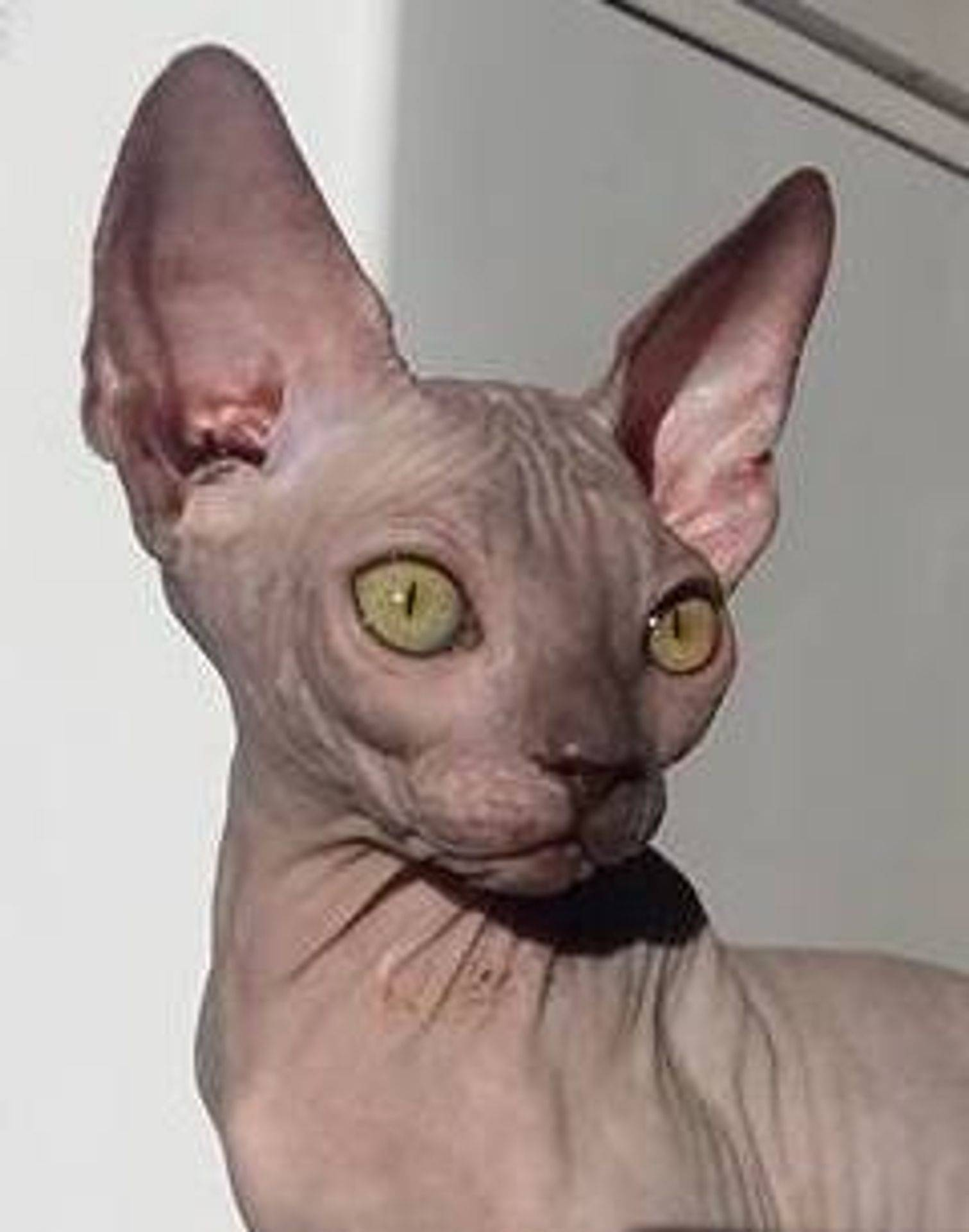 Katshaven Sphynx Cattery Caring For A Sphynx Cat