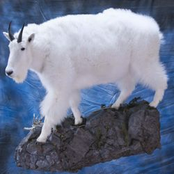 Full Mount Mountain Goat