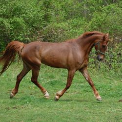 Cammy 8 YO saddlebred/TWH cross. Started under saddle.