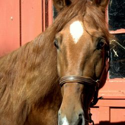 Chance 5 YO missouri fox trotter/saddlebred cross. Started under saddle but green