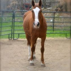 Quinn, 23 YO TWH cross. Lots of energy, loves trails - only goes out with other horses