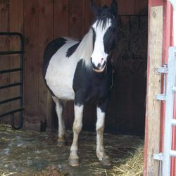 Mia 8 YO spotted saddle horse, sweet but cautious. Needs a calm and patient person to continue her training.