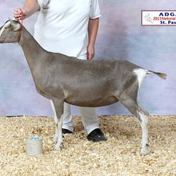 2013 ADGA National Show 1st place Sr. Yearling