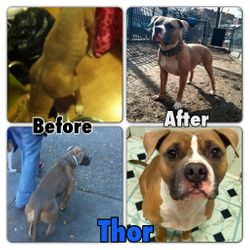 Thor came to us from a backyard breeder who didnt want him anymore. He was kept in a small crate all day long. He was underweight and had hairloss from allergies. He is now a beautiful boy who is our forever boy.