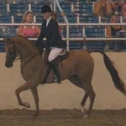Showing in Half Arabian Hunter Pleasure at Region II