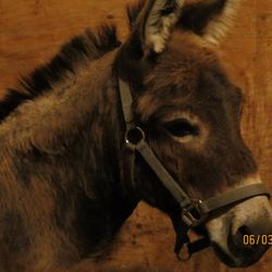 Reiny, 8 YO mini jenny donkey.Good for farrier, in hand. Loves people