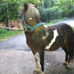 Lacey. 9 YO mini/pony. Cautious about folks handling her back end. Ok for farrier. Shy and a bit cautious.