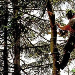 Tree Felling with chainsaw