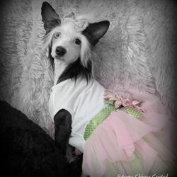 chinese crested and blue eyes