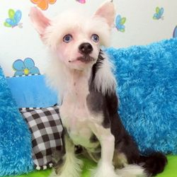 best blue eyed chinese crested