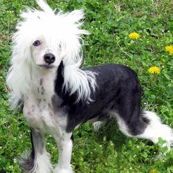 best chinese crested