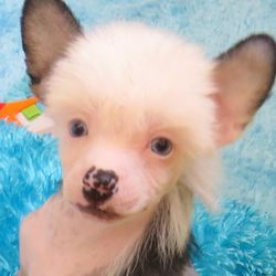 Blue eyed Chinese Crested Puppies for sale