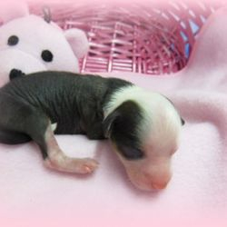 chinese crested, puppies