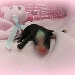 New litter chinese crested puppy