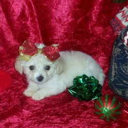 Female maltipoo puppy