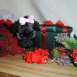 yorkiepoo puppy