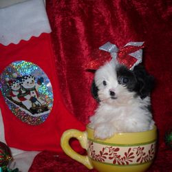 maltipoo female puppy