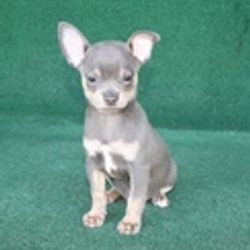 Charlie - Blue & Tan Male - $600