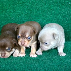 Babe's Pups, from left to right {Bellamy, Bernadette, Basil}