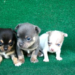 Coco's pups, from left to right {Campbell. Charlie, Caspar}