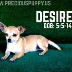Desiree {Red Sable Female} $300.00