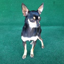 Tiny {Black and Tan Female Deer Head Chihuahua} $400 [DOB: 9-3-12]