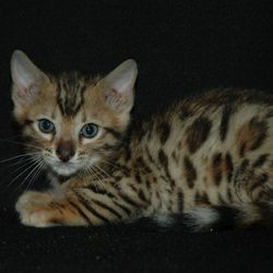 Linden our Bengal kitten as a kitten