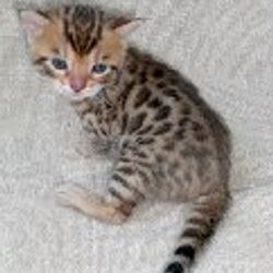 Linden our Bengal male as a kitten