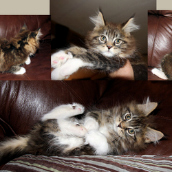 Sequoia our Maine Coon male as a kitten