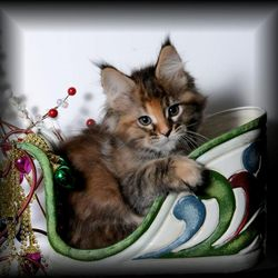 Willow our Maine coon kitten