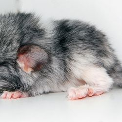 Baby Mosaic Heavily Marked Chinchilla