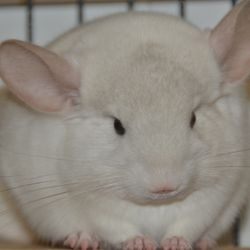 Pink White Female Young Chinchilla