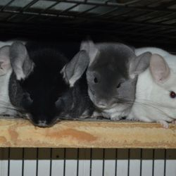 Pile of chinchillas in a Ferret Nation