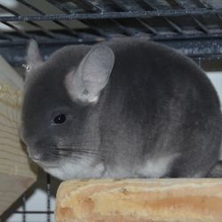 TOV Violet 3rd Best of Show Chinchilla - Tiffany's Chinchillas