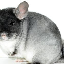 TOV White Chinchilla Show Quality