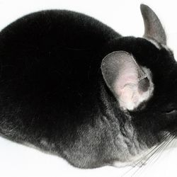 Black Velvet Show Quality Chinchilla